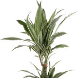 Dracaena Warneckei in grijze chipwood pot_