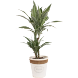 Dracaena Fragrans Warneckei in witte chipwood pot_