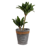 Dracaena fragrans compacta in grijze chipwood pot_