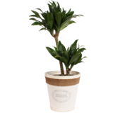 Dracaena fragrans compacta in witte chipwood pot _