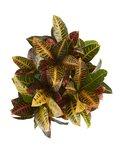 Croton Petra ( Croton Petra )_