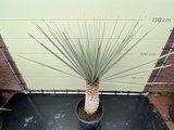 yucca rigida stamhoogte 50/70cm