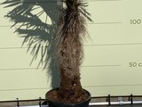 trachycarpus fortunei 80-100 cm