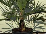 trachycarpus fortunei 15 - 20cm