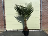 trachycarpus fortunei stamhoogte 40-60 cm
