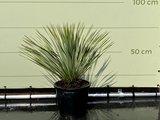Palmlelie - Yucca Rostrata 70cm