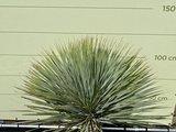 yucca rostrata stam 40-50cm