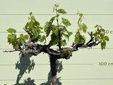 oude druif op stam