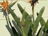 Strelitzia Reginae 150 - 170cm