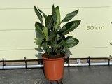 Strelitzia Reginae 80 - 100cm