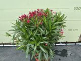 Rode Oleander - Nerium Oleander - 120 cm