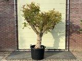 granaatappelboom 250cm