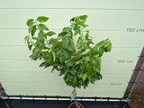 Citroenboom maat M