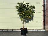 Kumquat maat L 150 cm