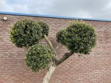 Olijfboom bolvormen 250cm