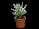Agave Angustifolia 50 cm
