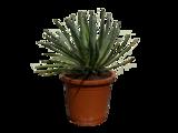 Agave Filifera 60 cm