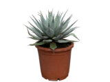 Agave Mexico 50 cm