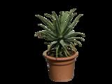 Aloe Spinosissima 70 cm