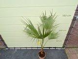 Mexicaanse Waaierpalm - Washingtonia Robusta 140-160 cm