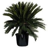 Sagopalm stamhoogte 40 - 50cm