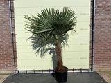 trachycarpus fortunei 60-80cm