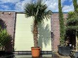 trachycarpus fortunei 125-150cm
