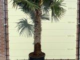 trachycarpus fortunei stamhoogte 140-160cm
