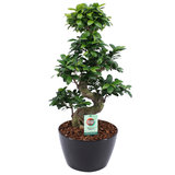 Ficus Gin Seng Bonsai met Zwart Keramiek (FGS25ZW)_