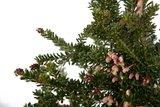 Bloeiende Kerstboom (Grevillea Red Salento)_