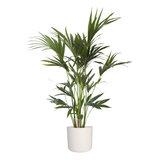Kentia Palm in ® ELHO b.for soft sierpot (Kentia Palm)_