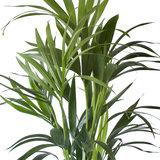 Kentia Palm (Howea Fosteriana)_