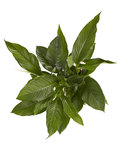 Lepelplant Spathiphyllum Sweet Lauretta (Lepelplant Spathiphyllum Sweet Lauretta)_