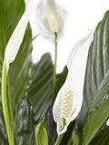 2 stuks Lepelplant Spathiphyllum Vivaldi (2 stuks Lepelplant Spathiphyllum Vivaldi)_