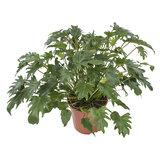Philodendron Xanadu (Philodendron Xanadu)_