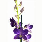 Dendrobium Sa-nook Bl Happiness (DSBH01F0CH)_