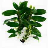 Dendrobium Nobile Apollon 3T (DNAP03B0I2)_