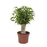 Ficus Natasja (Ficus benjamina)_
