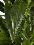 Drakenboom, Dracaena Janet Craig (Dracaena Janet Craig)_
