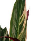 Decorum Calathea Triostar met Elho brussels antracite  ()_