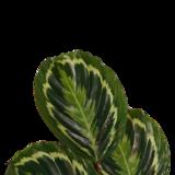 Decorum Calathea Medaillon (CAL19MED21D01)_