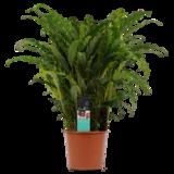 Decorum Calathea Bluegrass (CAL17BLU30D01)_