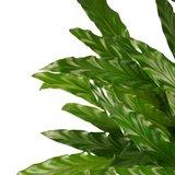 Decorum Calathea Bluegrass met Elho brussels white (CAL17BLU30D01)_