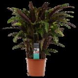 Decorum Calathea Elgergrass  (CAL17ELG30D01)_