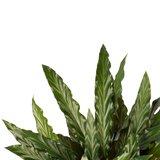 Decorum Calathea Elgergrass met Elho brussels white (CAL17ELG30D01)_