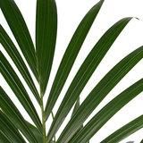Decorum Kentia Palm - Elho brussels soap ()_