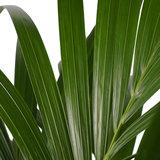 Decorum Kentia Palm ()_