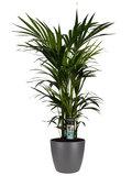 Decorum Kentia Palm - Elho brussels antracite ()_
