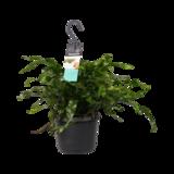 Decorum Microsorum diversifolium (Decorum Microsorum diversifolium)_