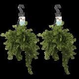 Decorum Duo Aeschynanthus japhrolepis (Decorum Duo Aeschynanthus japhrolepis)_